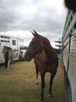argentine polo pony